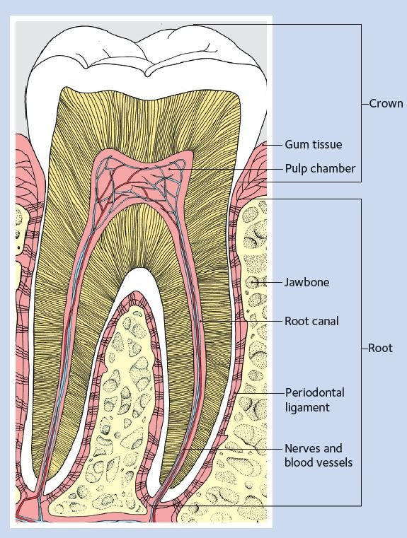 tooth_diagram_english